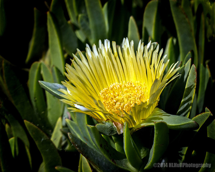 Yellow ice plant bloom...<br /> <br /> Schabarum Regional Park<br /> Rowland Heights, CA<br /> <br /> Thank you for your views and comments, much appreciated!<br /> <br /> Critiques welcome...<br /> <br /> 7 May 2014