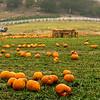 Pumpkins, Pumpkins, Pumpkins...