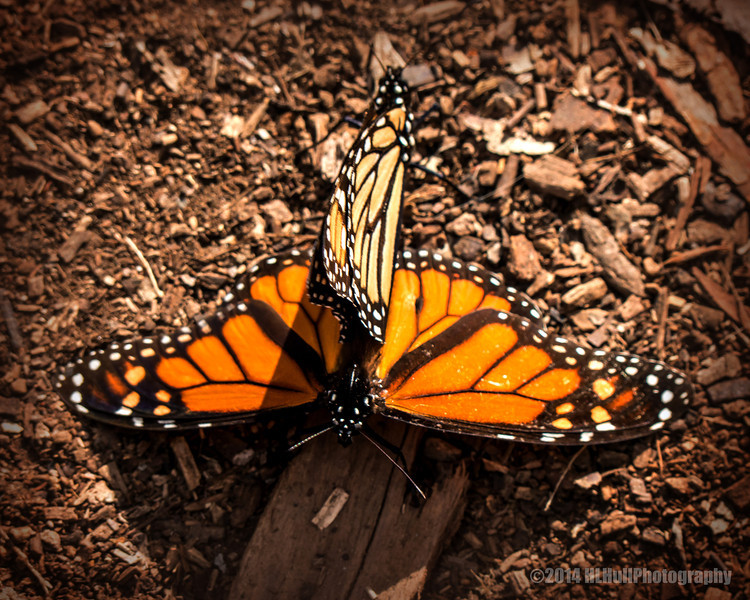 "Monarch Butterflies,<br /> Goleta Butterfly Grove...<br /> <br /> I saw quite a few butterflies on the ground mating. I was told by a regular that a couple of weeks earlier butterflies could be seen hanging from trees, like dead leaves. If you have time, click on the following link to view. Maybe next time...  :   ) <a href=""http://www.goletabutterflygrove.com/"">http://www.goletabutterflygrove.com/</a><br /> <br /> Thank you for viewing and commenting, much appreciated!<br /> <br /> Critiques welcome...<br /> <br /> 15 March 2014"