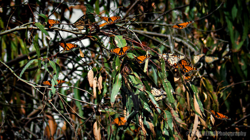 Monarch butterflies, Goleta Butterfly grove...  The area and the monarch site are named after Ellwood Cooper, who settled with his family here in 1870. Cooper grew olives, walnuts, grapes, almonds, oranges, lemons and Japanese persimmons on his large ranch. This created a very favorable setting for the yearly visitation of monarchs to our area. http://www.goletabutterflygrove.com/  A couple of weeks ago, my wife and I spent the Valentine's Day weekend in Santa Barbara. While there, we visited the Goleta Butterfly Grove in Goleta, just north of Santa Barbara. Unfortunately, most of the Monarchs were gone but I did manage to get a couple of shots of the stragglers and will share in the next few days.  Thanks for viewing and commenting, I appreciate it!  Critiques welcome...  14 March 2014
