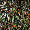 "Monarch Butterflies,<br /> Goleta Butterfly Grove...<br /> <br /> The area and the monarch site are named after Ellwood Cooper, who settled with his family here in 1870. Cooper grew olives, walnuts, grapes, almonds, oranges, lemons and Japanese persimmons on his large ranch. This created a very favorable setting for the yearly visitation of monarchs to our area. <a href=""http://www.goletabutterflygrove.com/"">http://www.goletabutterflygrove.com/</a><br /> <br /> A couple of weeks ago, my wife and I spent the Valentine's Day weekend in Santa Barbara. While there, we visited the Goleta Butterfly Grove in Goleta, just north of Santa Barbara. Unfortunately, most of the Monarchs were gone but I did manage to get a couple of shots of the stragglers and will share in the next few days.<br /> <br /> Thanks for viewing and commenting, I appreciate it!<br /> <br /> Critiques welcome...<br /> <br /> 14 March 2014"