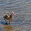 Long Billed Curlew...<br /> <br /> Bolsa Chica Ecological Reserve<br /> Huntington Beach, CA<br /> <br /> Thanks for your views and comments! Critiques welcome...<br /> <br /> 2 September 2014