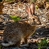 """Common Rabbit...<br /> <br /> More than half the world's rabbit population resides in North America They are also native to southwestern Europe, Southeast Asia, Sumatra, some islands of Japan, and in parts of Africa and South America. <a href=""""http://en.wikipedia.org/wiki/Rabbit"""">http://en.wikipedia.org/wiki/Rabbit</a><br /> <br /> I got several shots of this guy as he was scampering about, this was the best one of the bunch!<br /> <br /> Fullerton Arboretum<br /> Fullerton, CA <a href=""""http://fullertonarboretum.org/home.php"""">http://fullertonarboretum.org/home.php</a><br /> <br /> Thanks for the time to view and comment!<br /> <br /> Critiques welcome...<br /> <br /> 24 June 2014"""