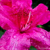"Rhododendron...<br /> <br /> Rhododendron is a genus of over 1,000 species of woody plants in the heath family, either evergreen or deciduous. Most species have showy flowers. Azaleas make up two subgenera of Rhododendron. <a href=""http://en.wikipedia.org/wiki/Rhododendron"">http://en.wikipedia.org/wiki/Rhododendron</a><br /> <br /> This shot was made at my sister's home in Gresham, Oregon, on our recent visit...<br /> <br /> Thanks for your views and comments!<br /> <br /> Critiques welcome...<br /> <br /> Note: I accidentally had yesterday's photo HIDDEN ALL DAY! Not that it's that great, but I knew there should have been at least ONE comment...duh : (     <a href=""http://hlhull.smugmug.com/Daily-Photos/MyDailyPic-2014/35428571_5K9jBd#!i=3258316258&k=5WptxKw"">http://hlhull.smugmug.com/Daily-Photos/MyDailyPic-2014/35428571_5K9jBd#!i=3258316258&k=5WptxKw</a>  Sorry!<br /> <br /> 21 May 2014"