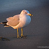 "California Gull, <br /> early one morning (from the archives)...<br /> <br /> The California Gull is a medium-sized gull, smaller on average than the Herring Gull but larger on average than the Ring-billed Gull, though may overlap in size greatly with both. <a href=""http://en.wikipedia.org/wiki/California_Gull"">http://en.wikipedia.org/wiki/California_Gull</a><br /> <br /> East Beach<br /> Santa Barbara, CA<br /> <br /> Thanks for your views and comments!<br /> <br /> Critiques welcome...<br /> <br /> 13 March 2014"