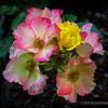 Wild rose...