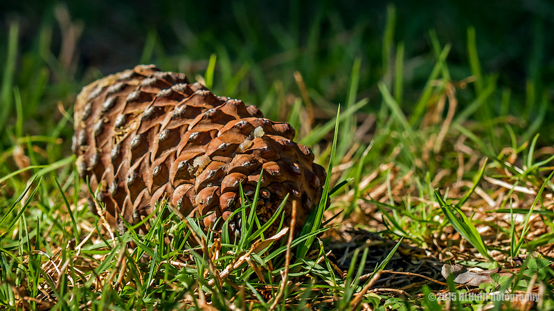 Pine cone in the Grass...