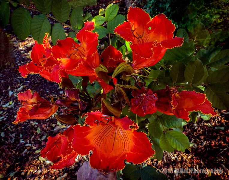 African tulip tree blossoms...