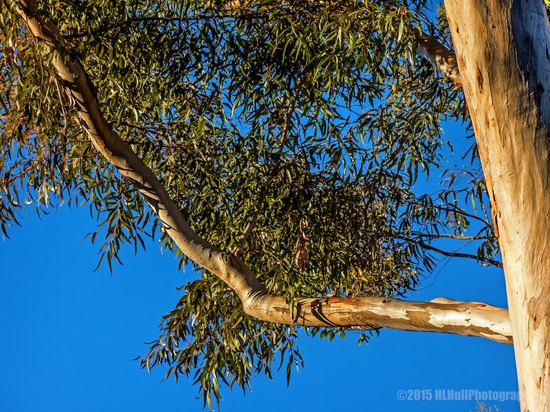 Eucalyptus Tree...