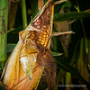 Old corn on the stalk...