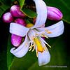Lemon blossom and buds...