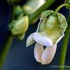 Green bean blossom...