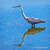 Great blue heron...