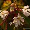 White Begonia...