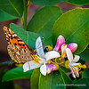 Painted Lady on lemon tree blossom...