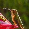 Anna's Hummingbird...