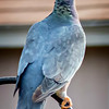 Band-tailed Pigeon...