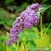 Buzz Lavender buddleia...