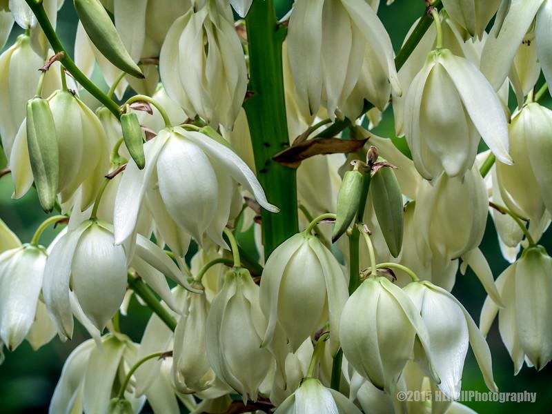 Yucca blooms...