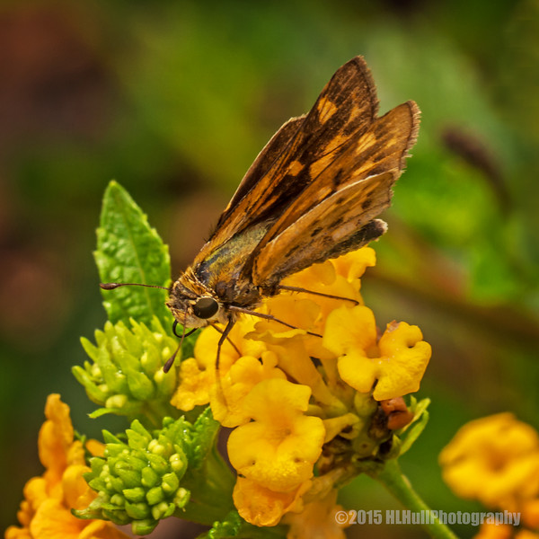 Skipper, on a lantana flower...