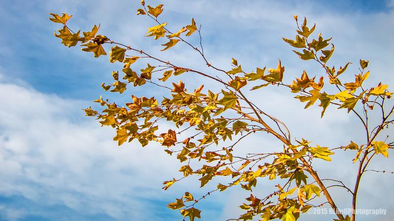 Golden leaves...