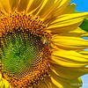 a bee and a sunflower...