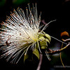 Shaving Brush Tree (Pseudobombax ellipticum)...