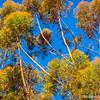 Eucalyptus trees...
