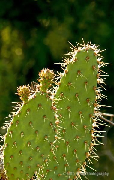 Backlit Cactus...
