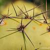 Prickly Pear Cactus...