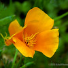 California poppy...
