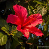 Red Hibiscus...