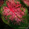 Caladium leaf...