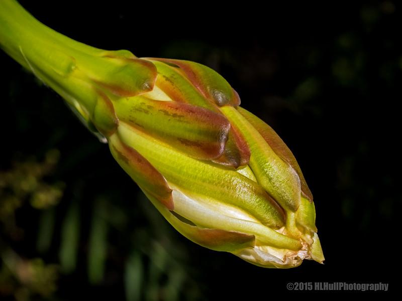 Night-blooming cereus...
