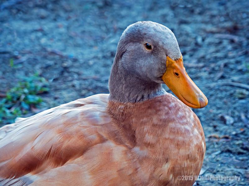 Brown duck...