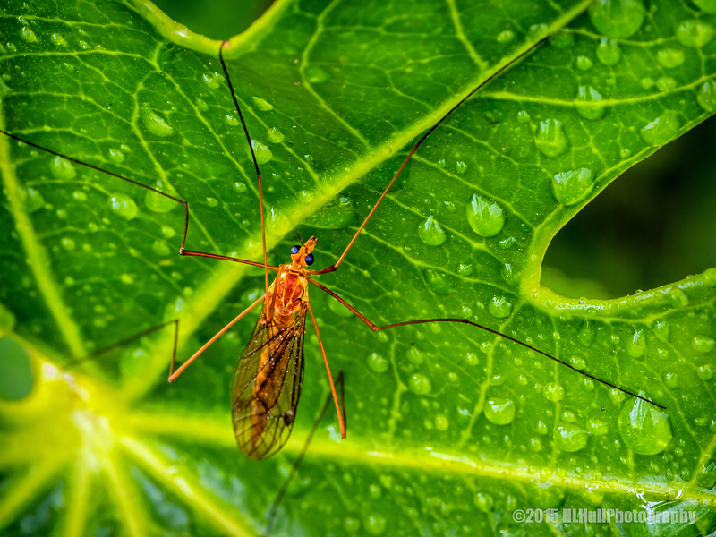 Spotted crane fly on Aralia leaf...