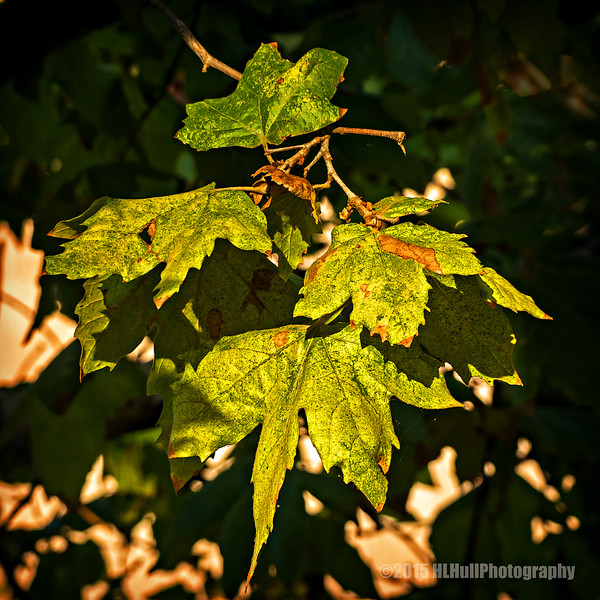 Oak leaves...