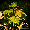 Oak leaves...