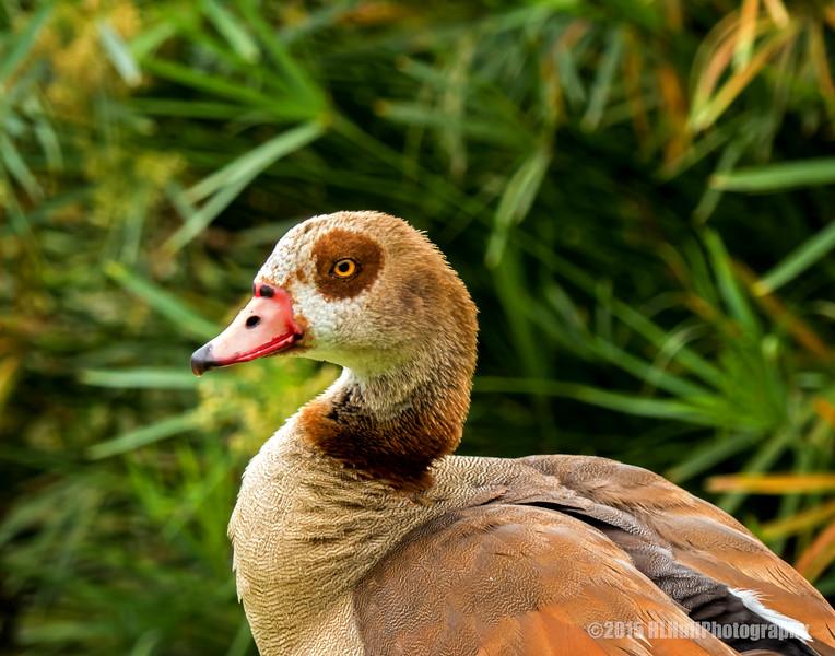 Egyptian goose ...