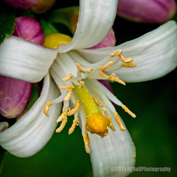 Lemon blossom...