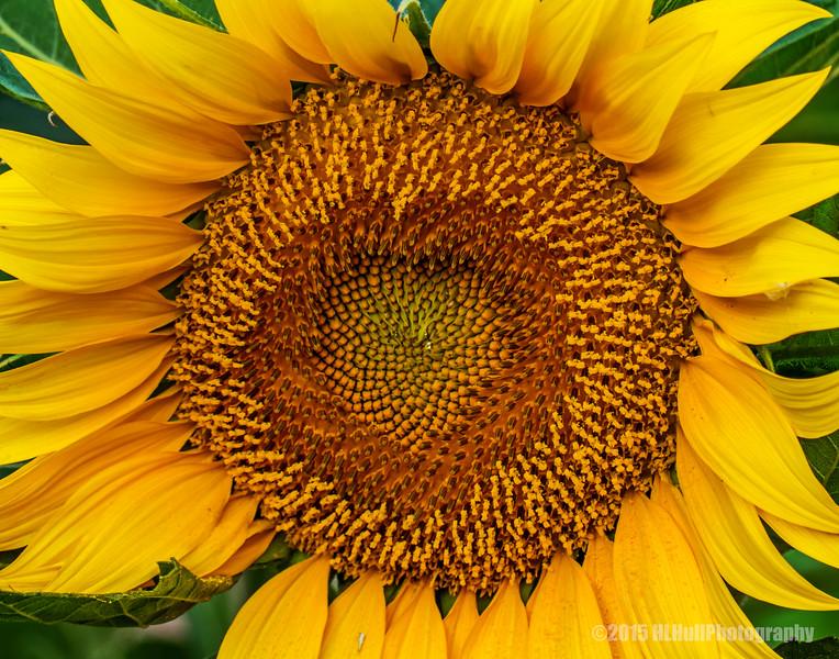 Backyard sunflower...