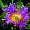 Ice Plant Bloom...