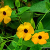 Black-eyed Susan vine...