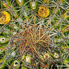 Coast Barrel Cactus, birds eye view...
