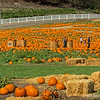 Pumpkin Patch...