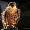 Meet Kisa, a Peregrine falcon...
