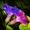 Trumpet flowers...