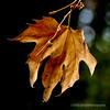 American Sweetgum leaf...
