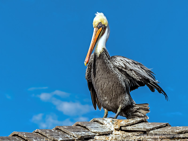 Brown pelican...