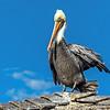 Brown pelican...
